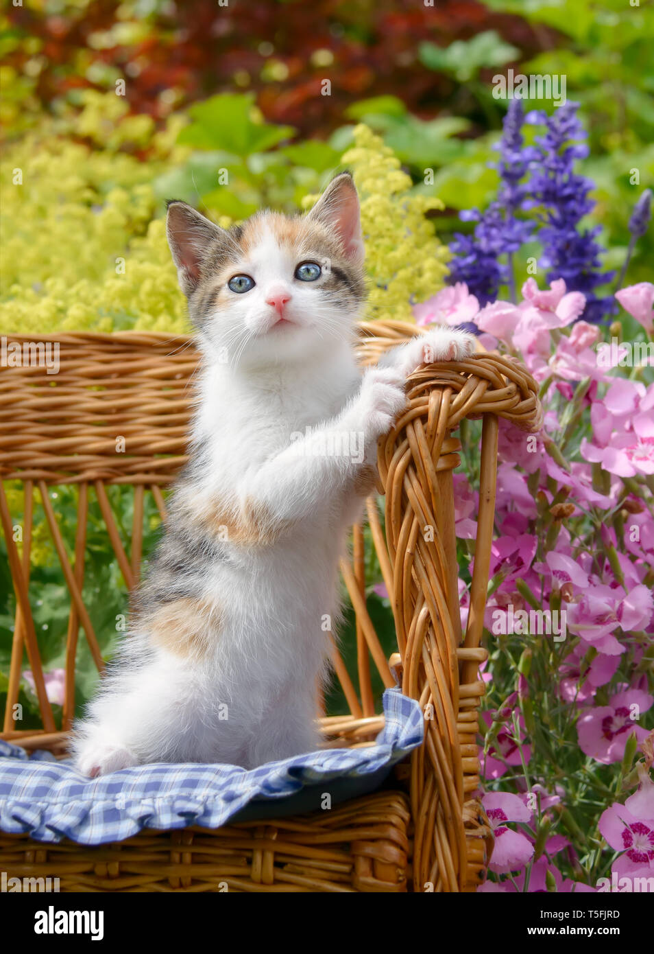 Cute Baby Cat Kitten White With Tortoiseshell Patches With Beautiful Blue Eyes Sitting Upright In A Small Wicker Chair In A Colorful Flowering Garden Stock Photo Alamy