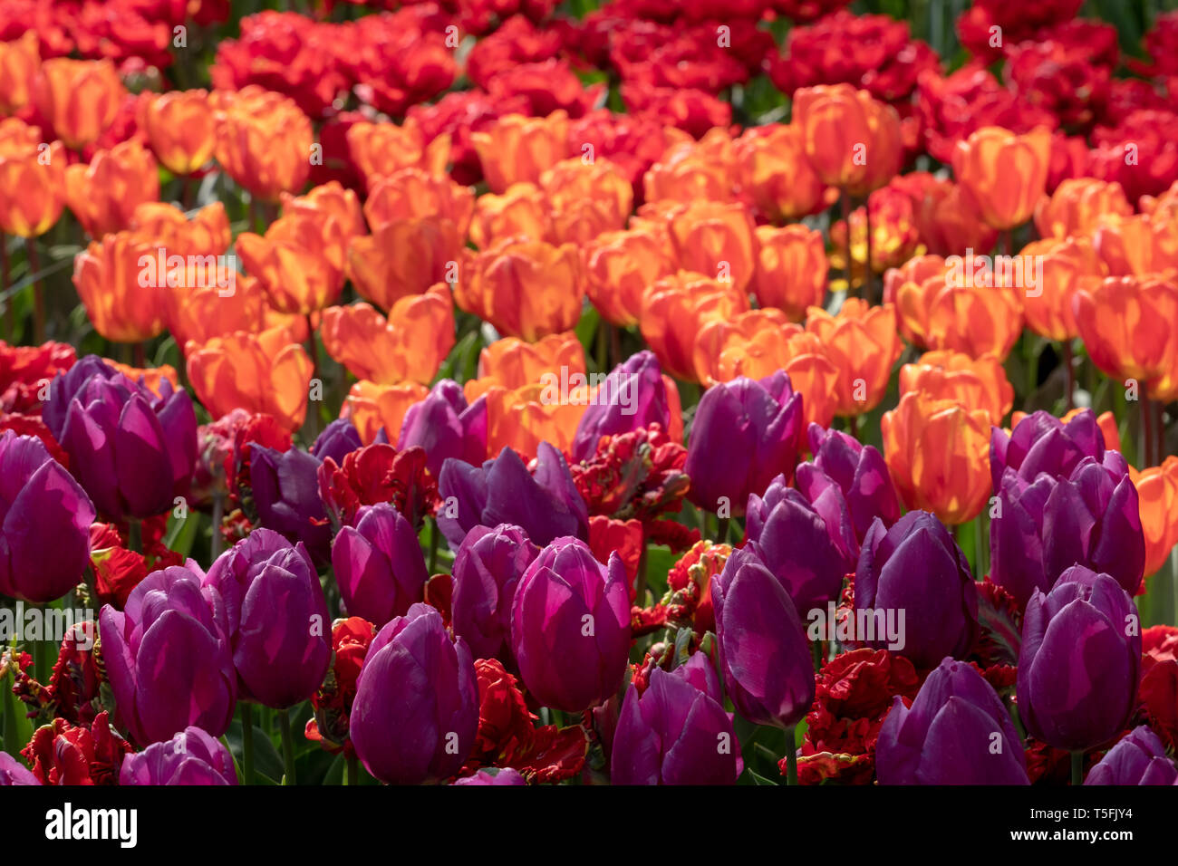 Tulips in vibrant colours in the late afternoon sun at Keukenhof Gardens, Lisse, Netherlands. Lisse is the centre of Holland's floriculture industry. - Stock Image