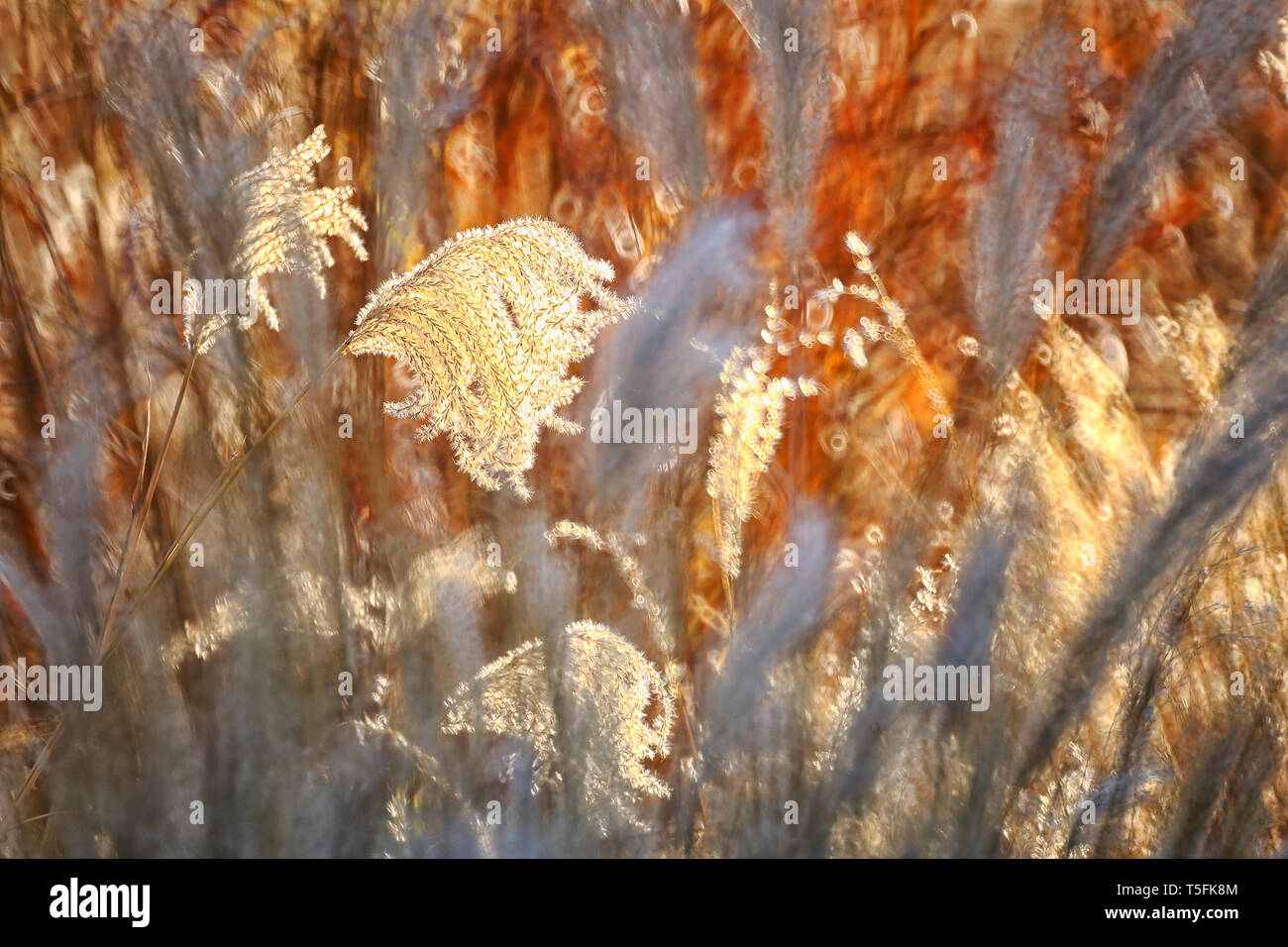 Reed, gras-like plants of Costa Brava. Girona - Stock Image