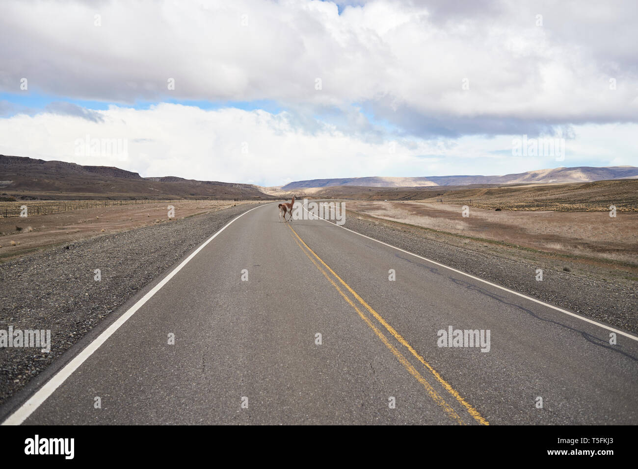 Argentina, Patagonia, National Route 40, Guanaco crossing empty road in the middle of desert - Stock Image