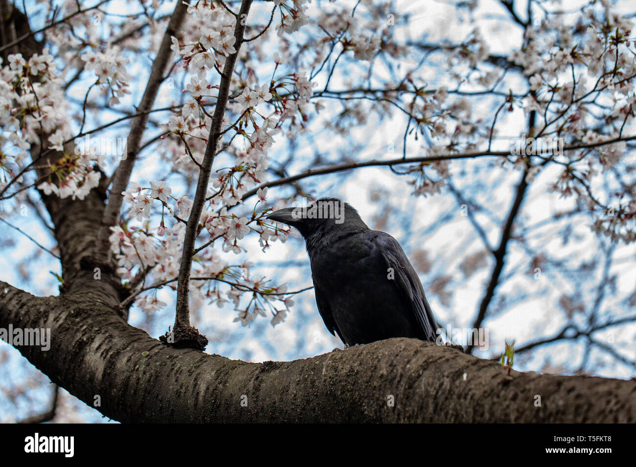 Black Crow raven sitting on the branch of a cherry blossom tree with white and pink blooms behind Stock Photo