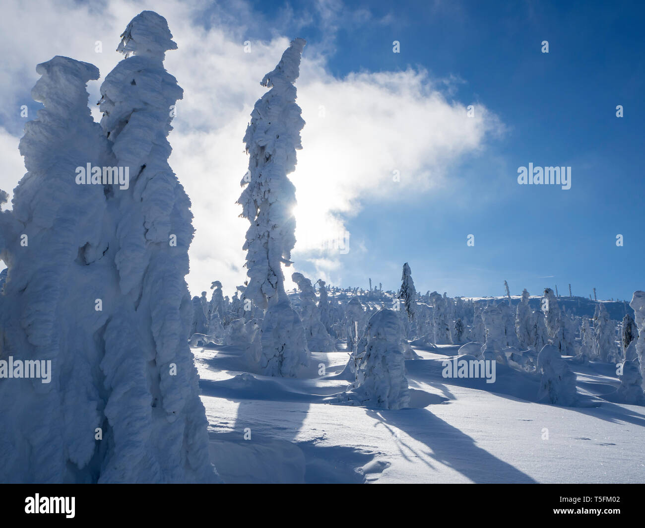 Germany, Upper Bavarian Forest Nature Park, winter landscape with snow-covered conifers - Stock Image