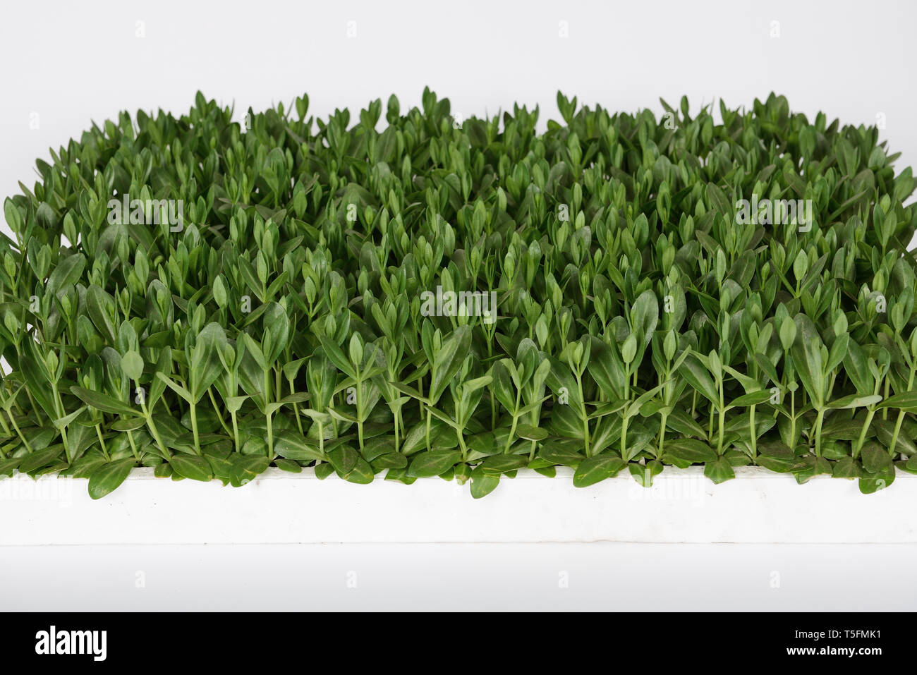 Lisianthus (Eustoma Grandiflorum) seedlings plants for professional cut flowers production in greenhouse - Stock Image
