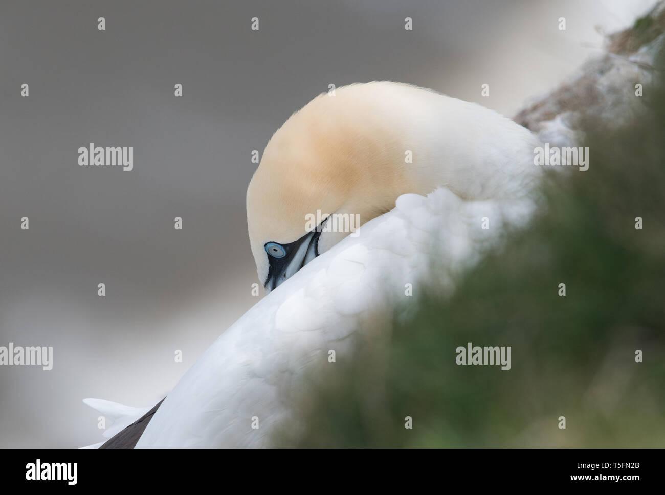 Gannet, Bempton Cliffs, Yorkshire - Stock Image