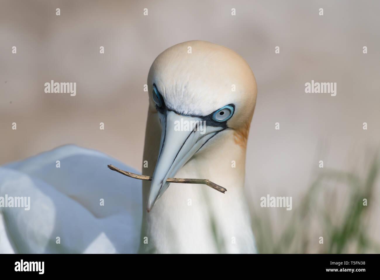 Gannet nesting, Bempton Cliffs, Yorkshire - Stock Image