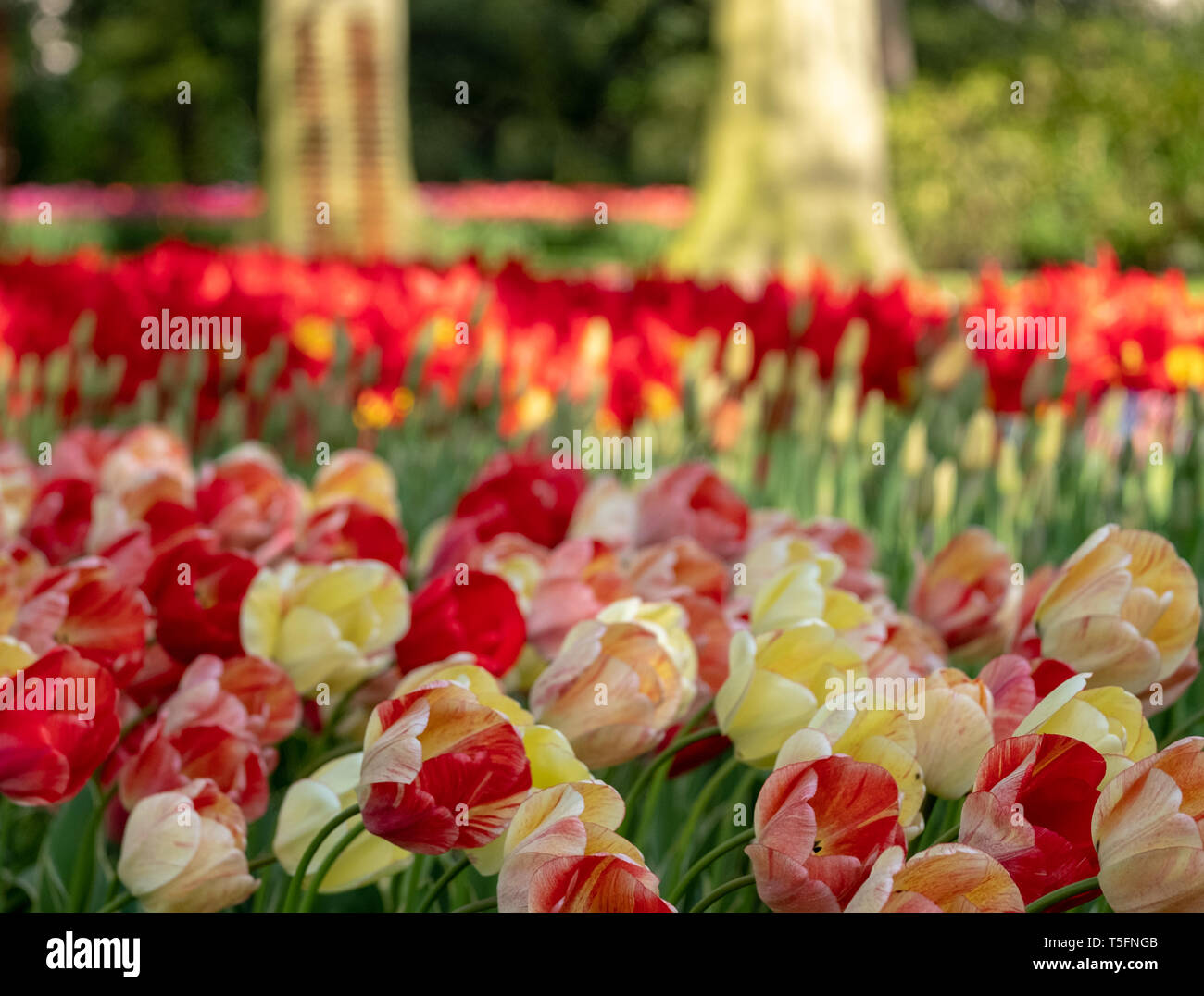 Tulips underneath the trees at Keukenhof Gardens, Lisse, Netherlands. Lisse is the centre of Holland's floriculture industry. - Stock Image