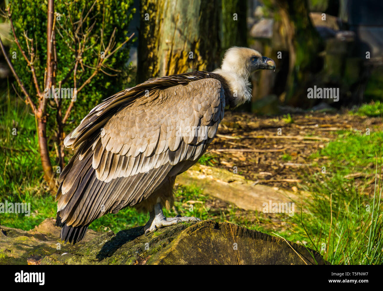 closeup of a griffon vulture standing on a tree trunk, common scavenger bird from europe Stock Photo