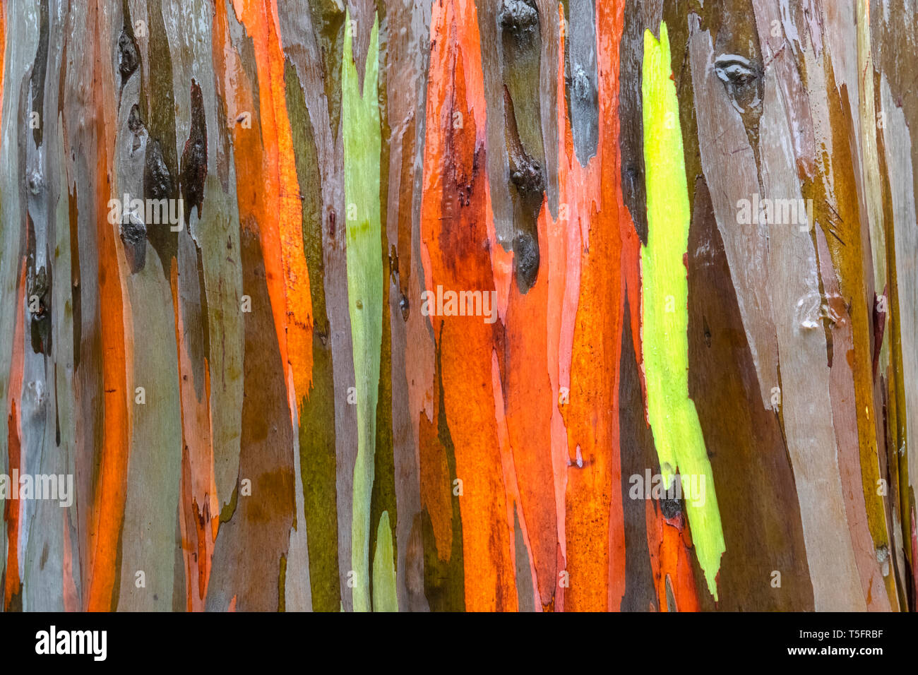 Detail of rainbow eucalyptus, Eucalyptus deglupta, close-up - Stock Image