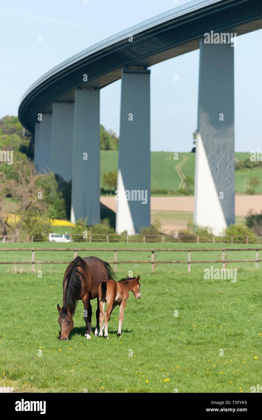 Eine Stute mit ihrem Fohlen weidet unter der Ruhrtalbruecke bei Mülhiem Mintard - Stock Image