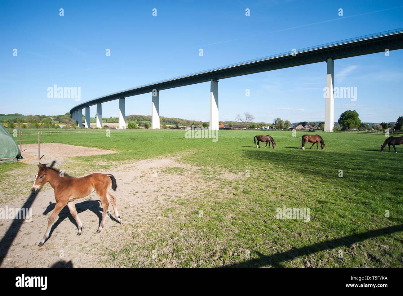 Eine Gruppe von Pferden mit eunem Fohlen weidet unter der Ruhrtalbruecke im Ruhrtal bei Mülheim Mintard. Das Fohlen laeuft im Vordergrund aus dem Bild - Stock Image
