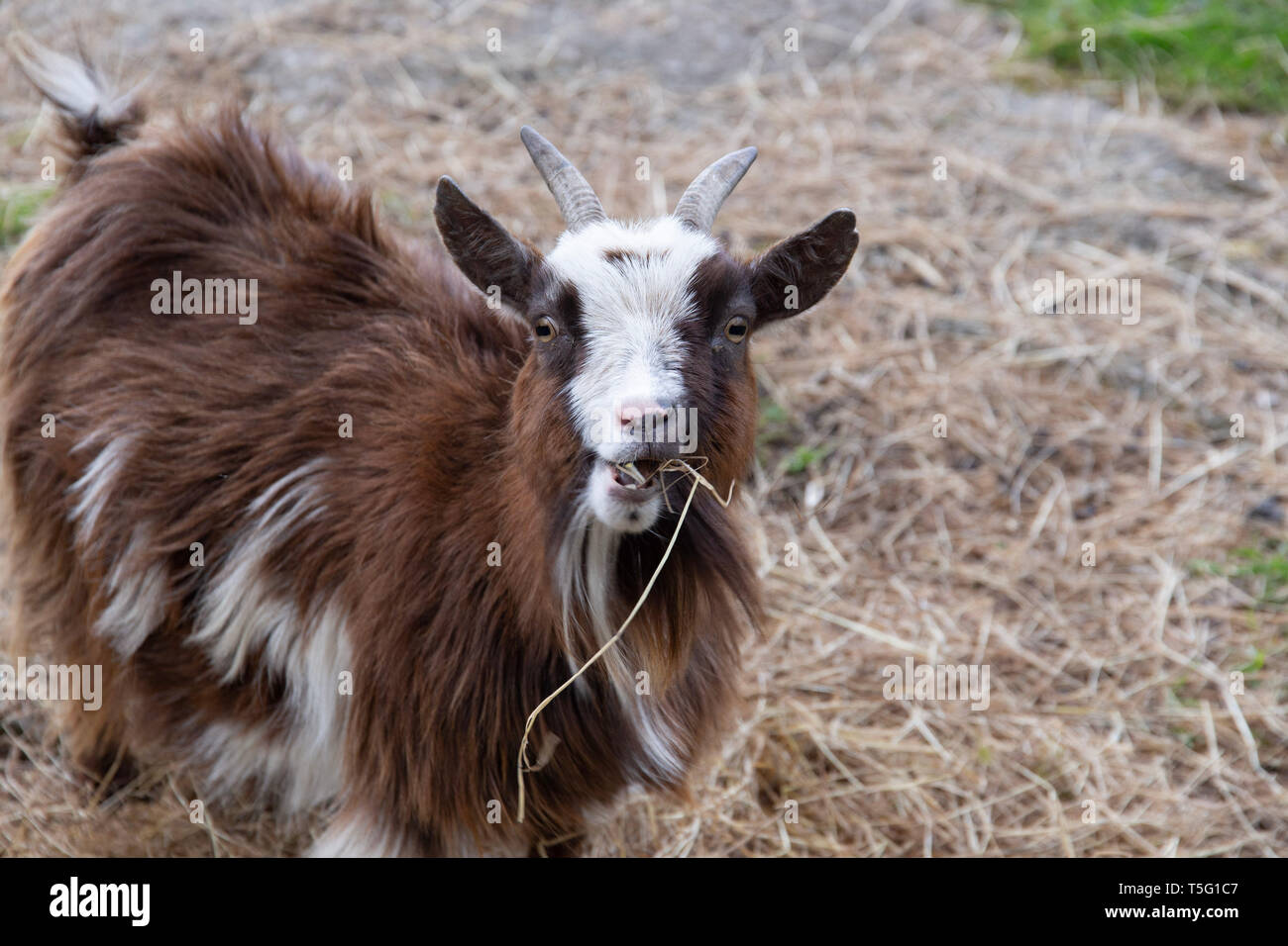 African Goat Breed Stock Photos & African Goat Breed Stock