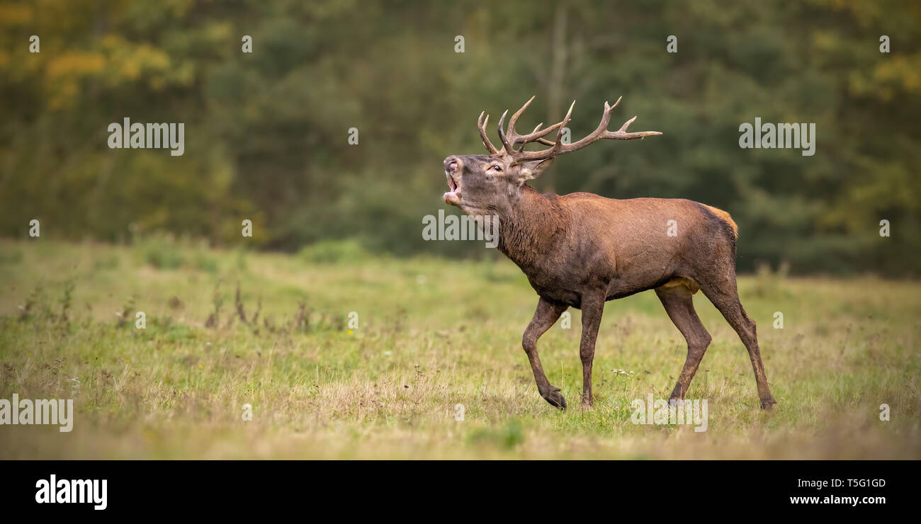 Red deer, cervus elaphus, stag roaring during rutting season in autumn. Stock Photo