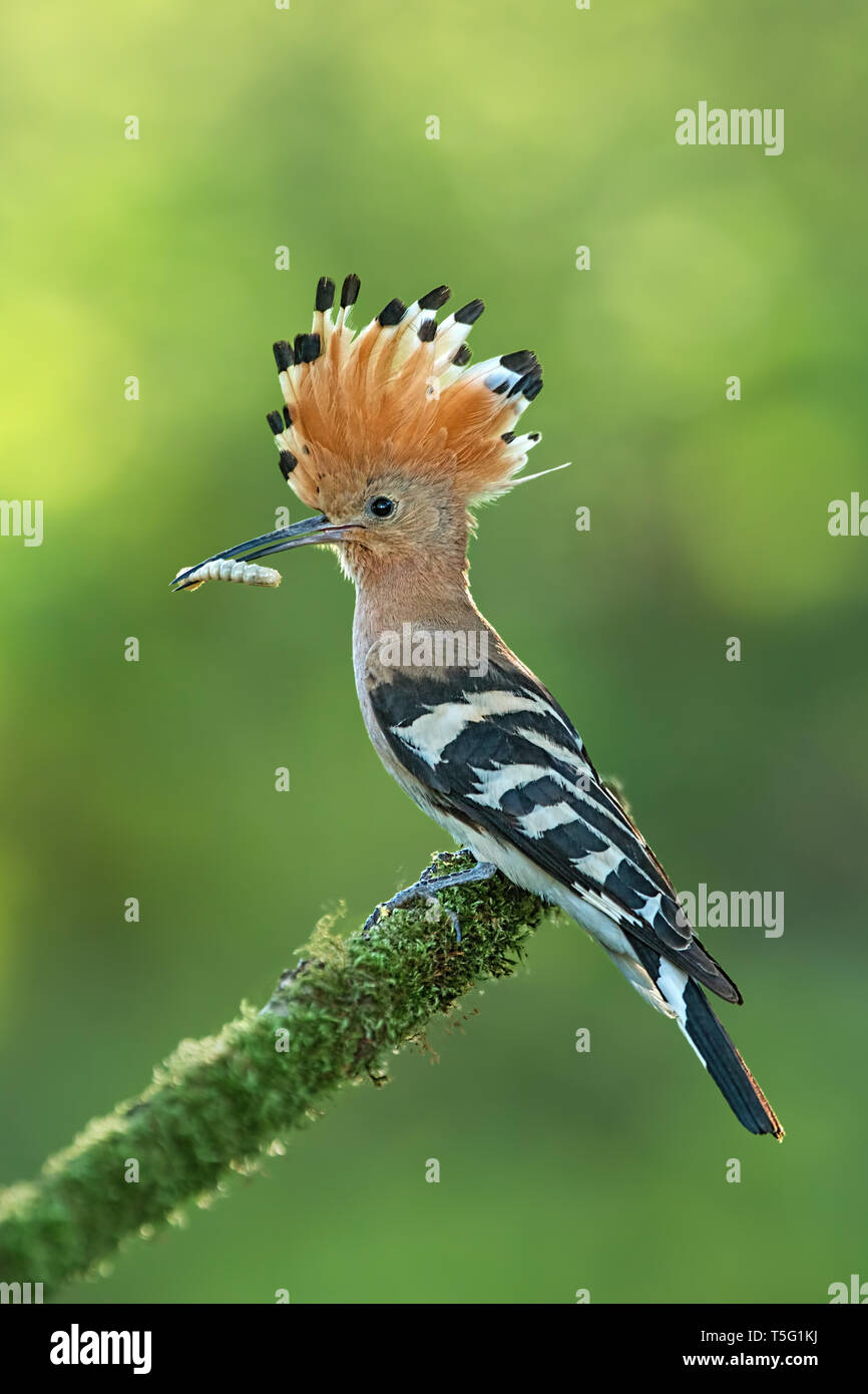 Hoopoe, upupa epops, sitting on a moss covered twig with open crest and catch in the beak. - Stock Image