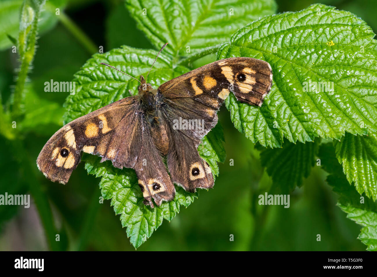 Speckled wood (Pararge aegeria) butterfly with severely damaged wings resting on leaf - Stock Image