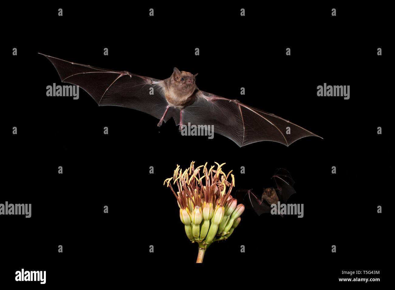 North America; United States; Arizona; Widlife; Night; Nectar-feeder; Lesser Long-nosed Bat; Leptonycteris curasoae; Lesser Short-nosed Bat; Cynopteru Stock Photo