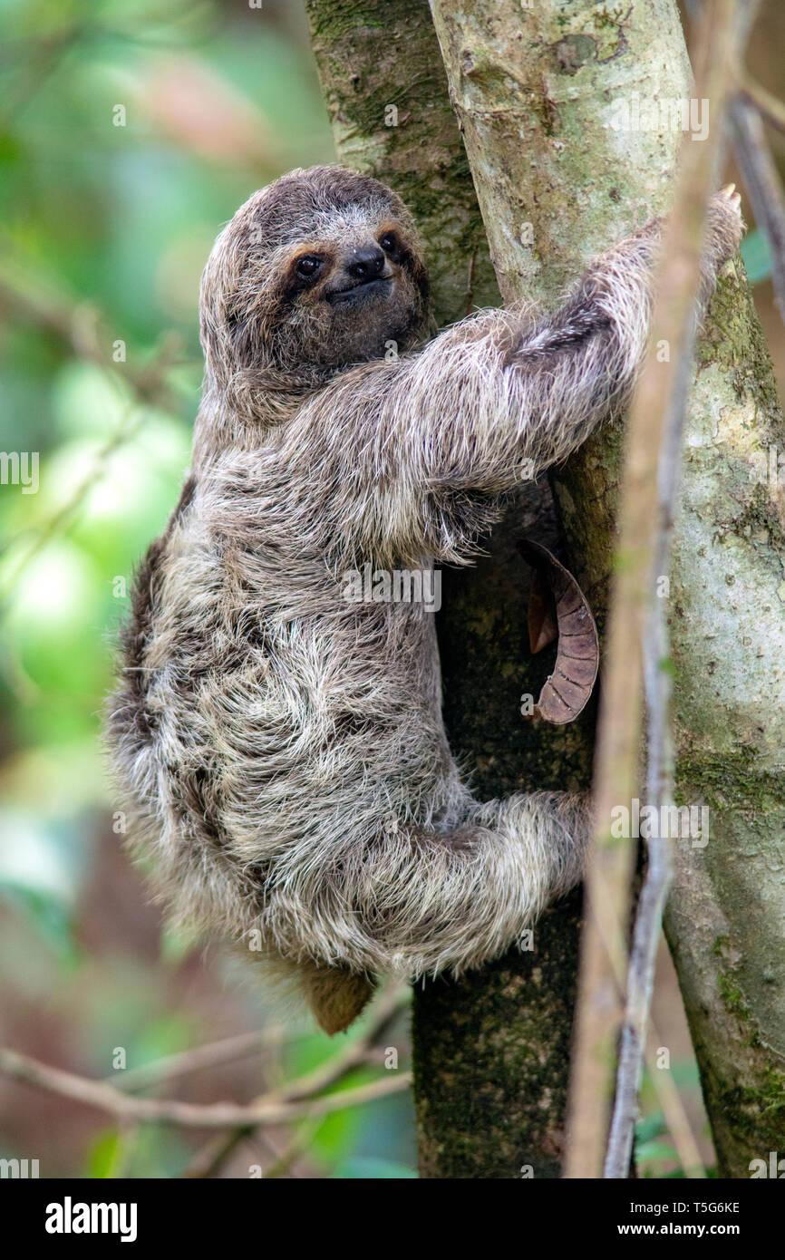 Juvenile Brown-throated sloth (Bradypus variegatus) or Three-toed Sloth - Manuel Antonio National Park - Quepos, Costa Rica Stock Photo