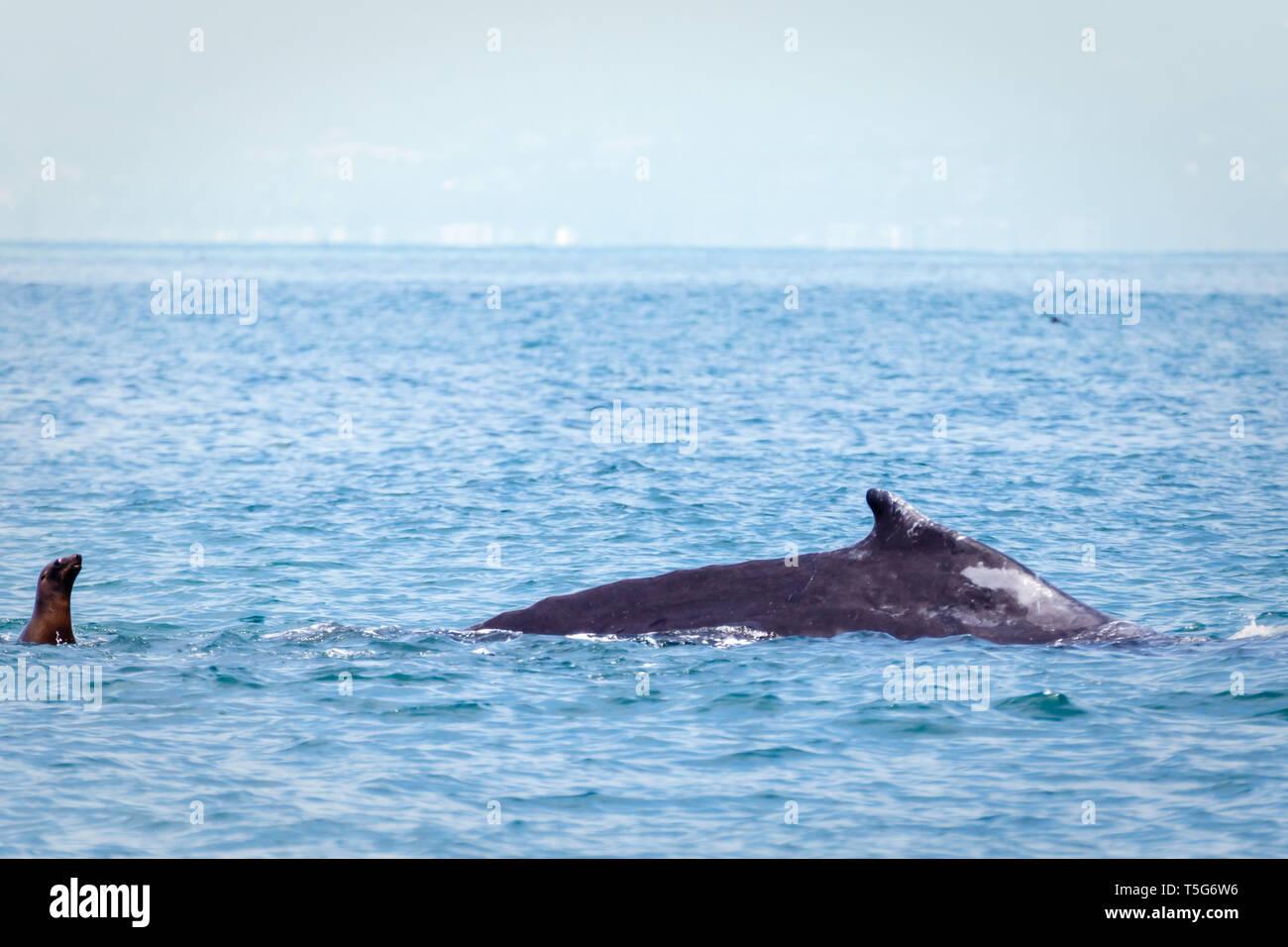 Closeup of California sea lion swimming above a gray whale off the coast - Stock Image