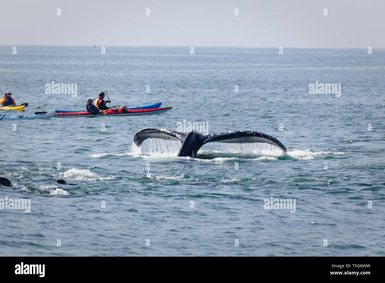 Closeup of small group of kayaks  dangerously close to a whale lob-tailing in the ocean with 2 seals watching - Stock Image