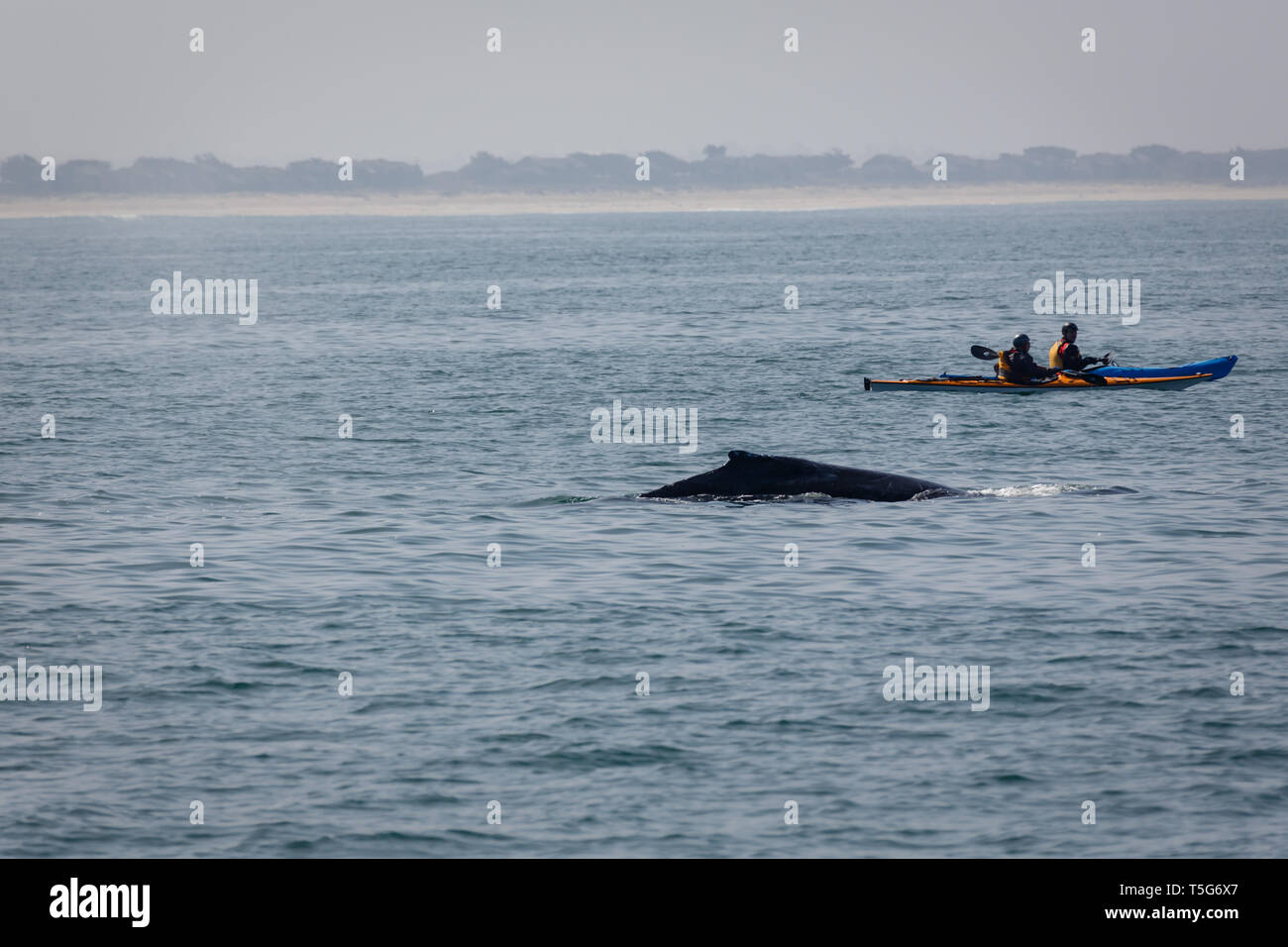 Closeup of small kayaks at dangerously close to a whale in the ocean - Stock Image
