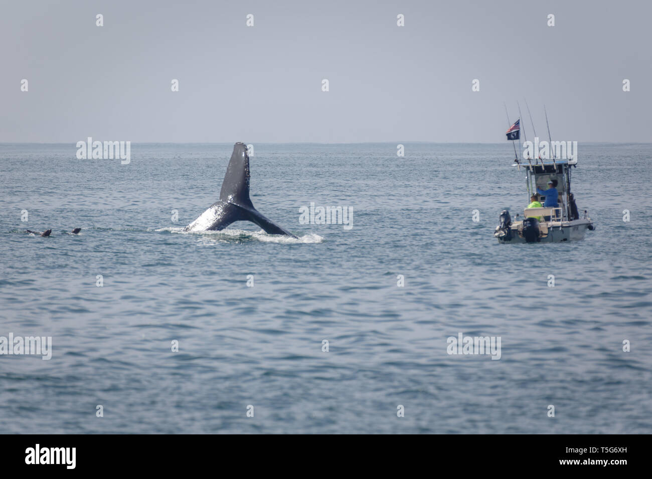 Closeup of a small boat dangerously close to the fluke of a whale lobtailing in the ocean with two seals nearby - Stock Image