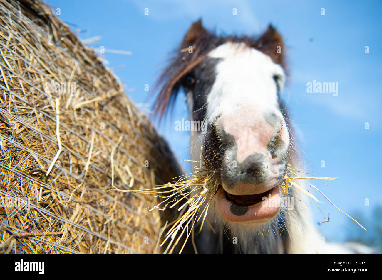 24 April 2019, Brandenburg, Templin: A pony eats hay in the sun. Photo: Lisa Ducret/dpa - Stock Image