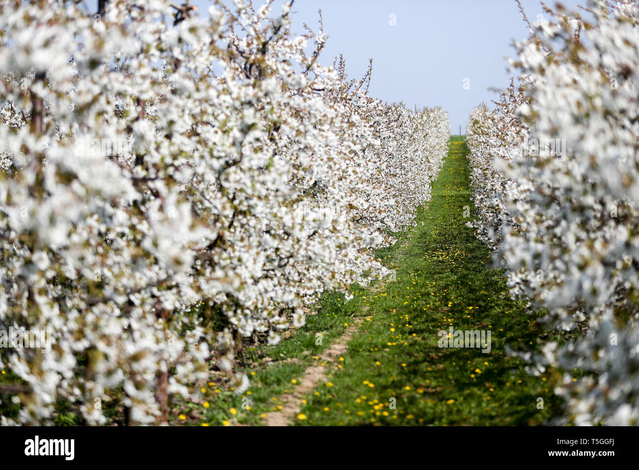 Sornzig, Germany. 23rd Apr, 2019. Sour cherries bloom on the premises of Obstland Dürrweitzschen AG. So far, fruit growers in Saxony and Saxony-Anhalt are looking to 2019 with satisfaction. The fruit blossom is running excellently and there have not yet been any worries about the drought. Credit: Jan Woitas/dpa-Zentralbild/dpa/Alamy Live News - Stock Image
