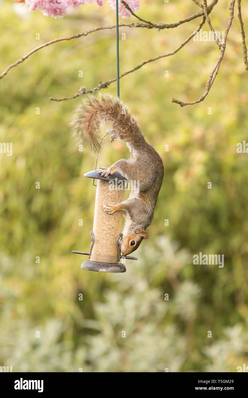 Stirlingshire, Scotland, UK. 25th Apr, 2019. a usually sure footed grey squirrel almost takes a tumble from a bird feeder hanging from a tree in a Stirlingshire garden but just manages to cling on and save itself. The long slippery hanger proved a challenge but it returned for another attempt once the feeder had been restocked. This time it was successful, and almost looked pleased with itself! Credit: Kay Roxby/Alamy Live News Stock Photo