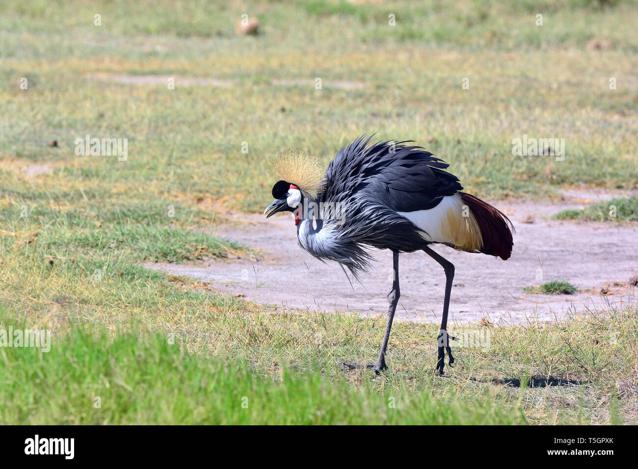 grey crowned crane, Südafrika-Kronenkranich, Grauhals-Kronenkranich, Balearica regulorum, szürkenyakú koronásdaru - Stock Image