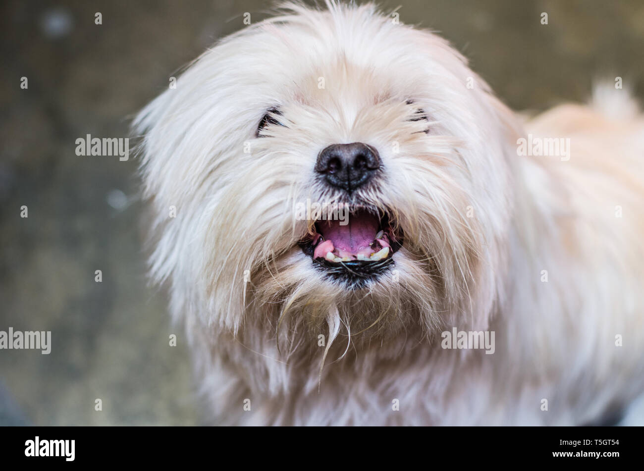 Dog growls into the camera. Maltese is angry and shows fangs. - Stock Image