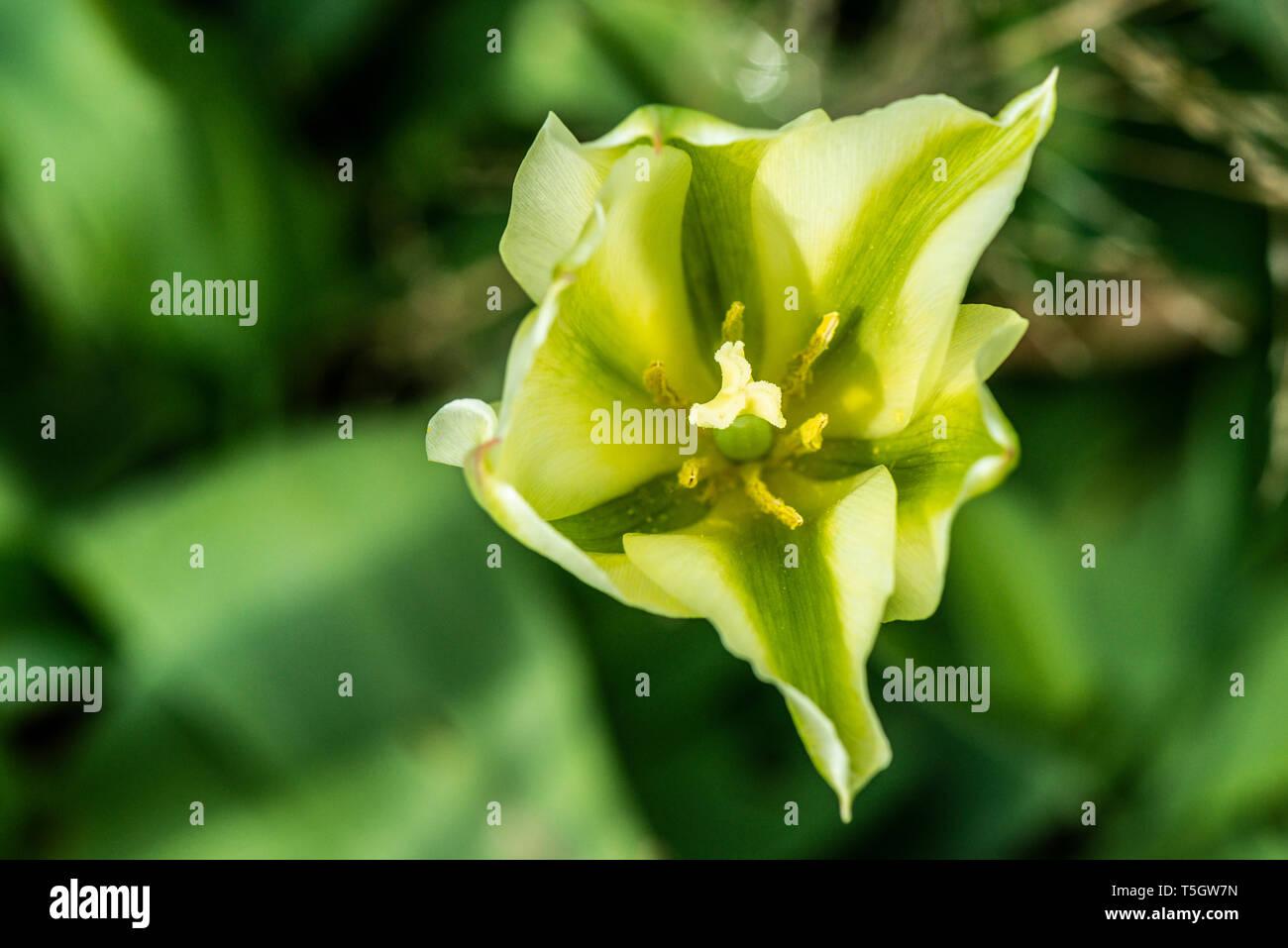Tulip 'Spring Green' (Tulipa 'Spring Green') - Stock Image