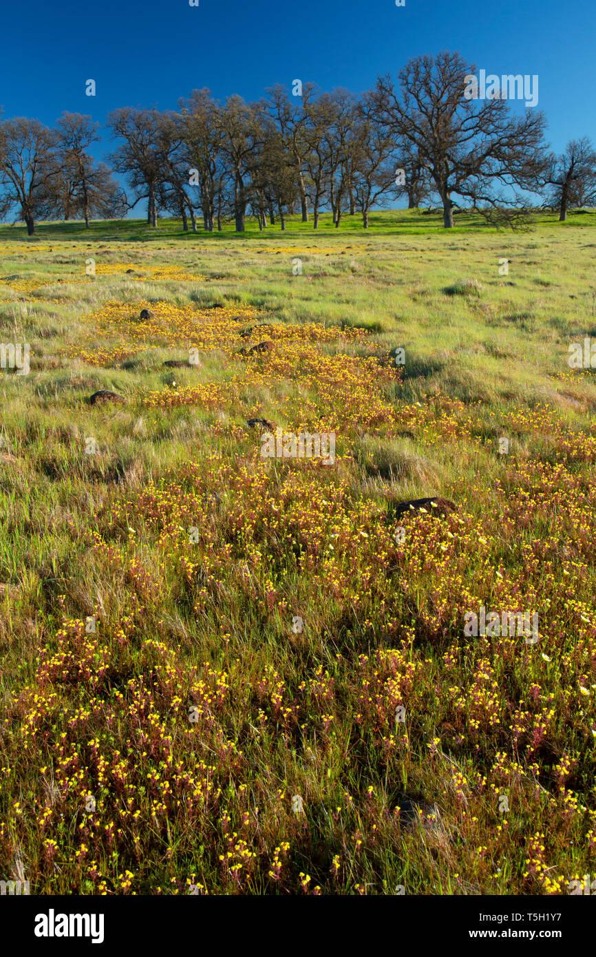 Oak woodland with spring wildflowers, Sacramento River Bend Area of Critical Environmental Concern, California - Stock Image