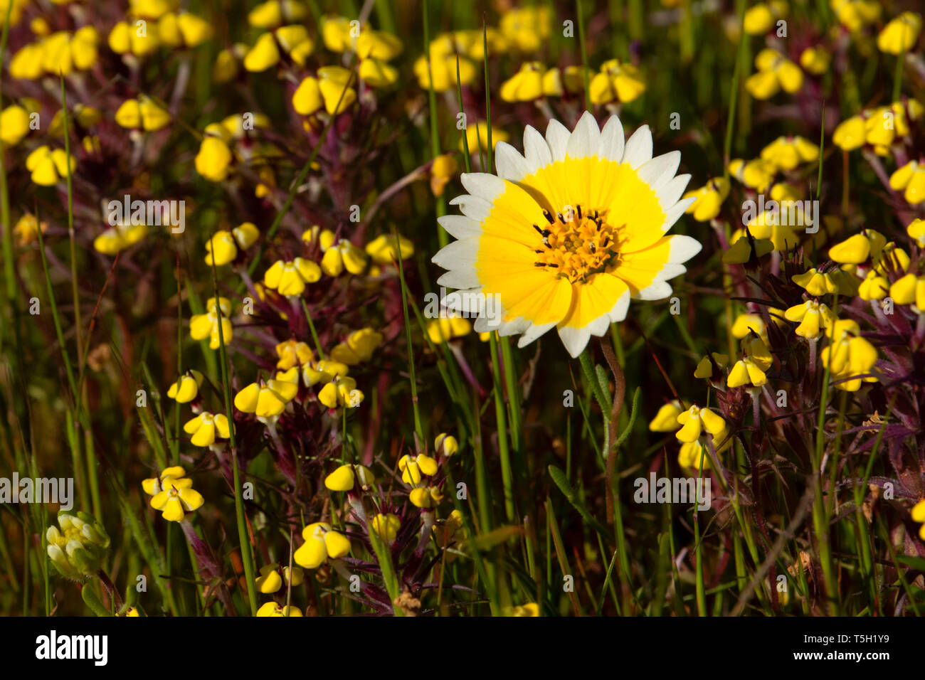 Tidytips with butter and eggs, Sacramento River Bend Area of Critical Environmental Concern, California - Stock Image