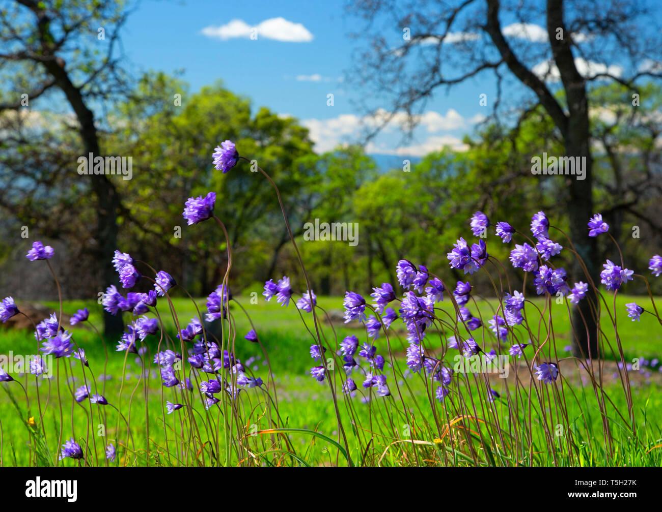 Blue dicks (Dichelostemma capitatum) in oak woodland, Sacramento River Bend Area of Critical Environmental Concern, California - Stock Image