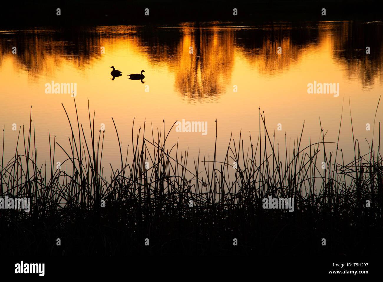 Pond sunrise, Lema Ranch, Redding, California - Stock Image