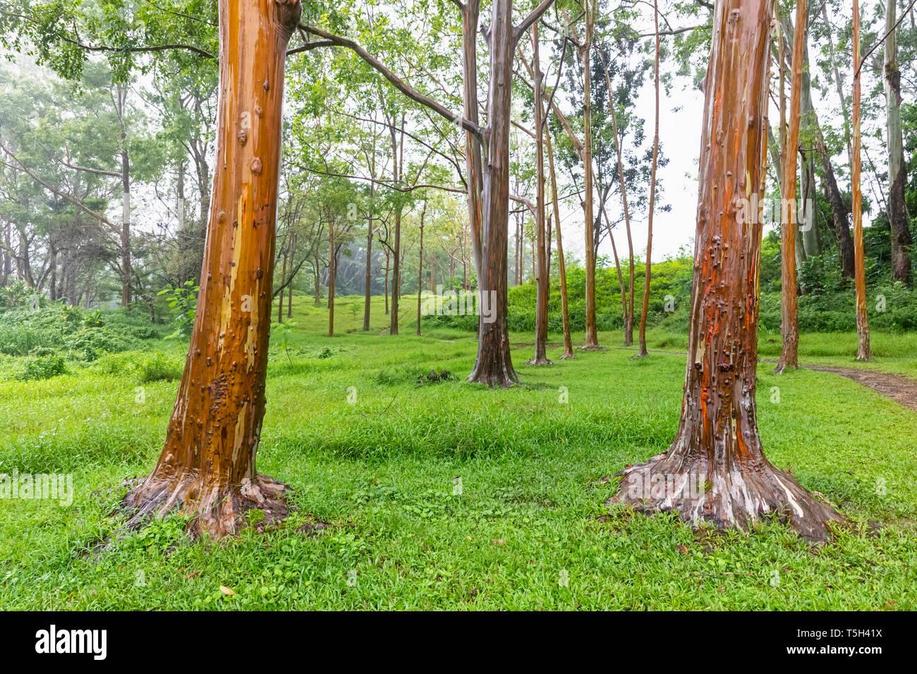 USA, Hawaii, Kauai, Rainbow eucalyptus, Eucalyptus deglupta - Stock Image