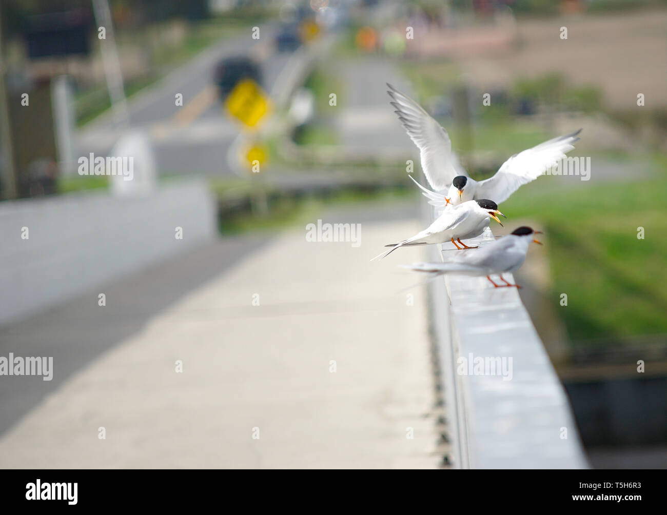 Common Terns flapping wings on bridge railing - Stock Image