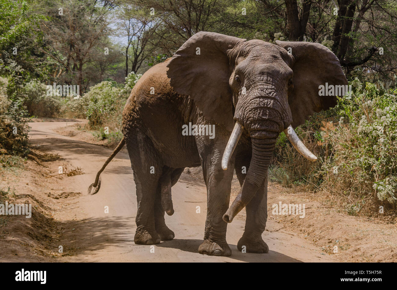 Bull Elephant Blocking the Road in Lake Manyara National Park, Tanzania, Africa - Stock Image