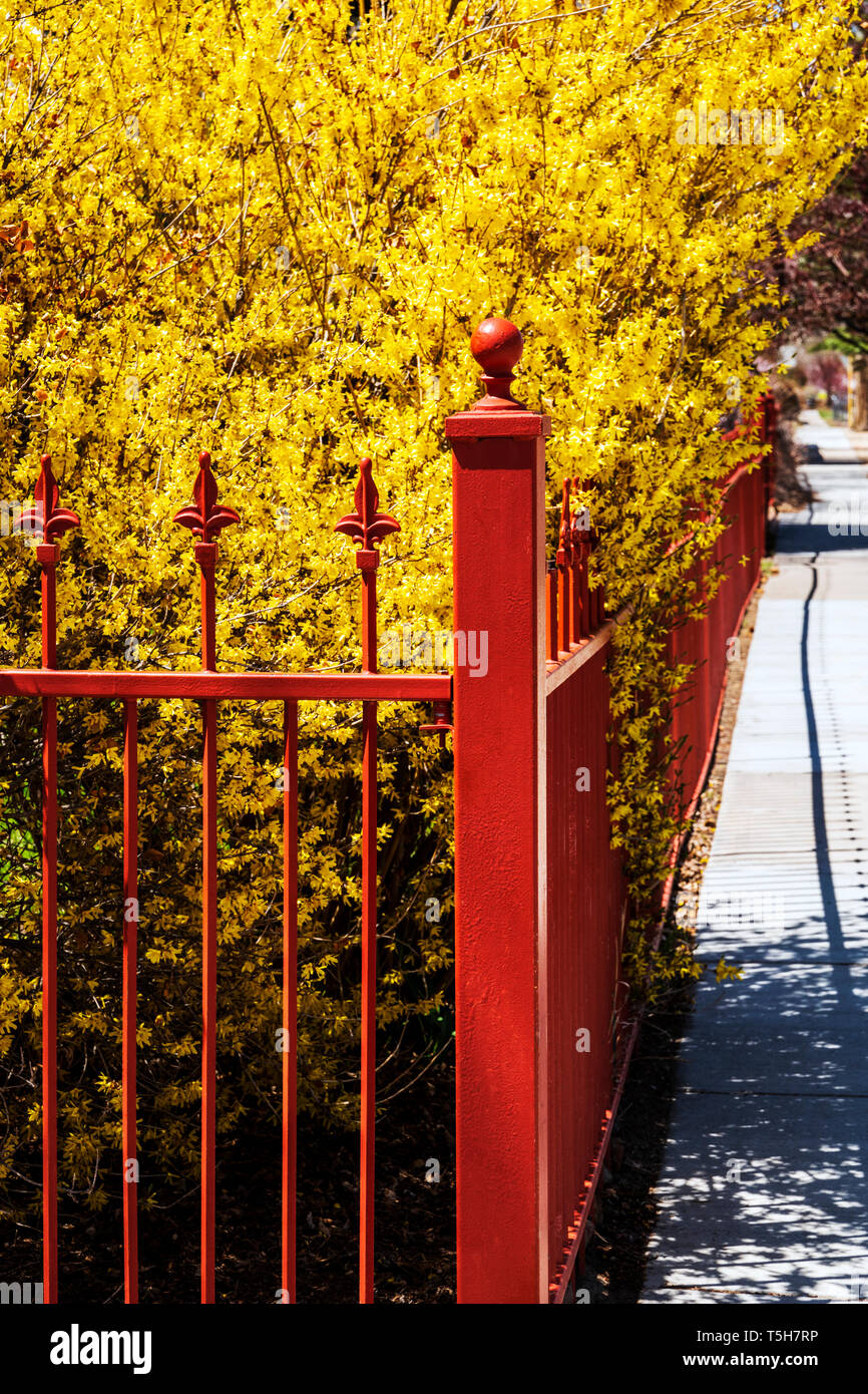Reddish color wrought iron picket fence; blooming forsythia bush; Salida; Colorado; USA Stock Photo