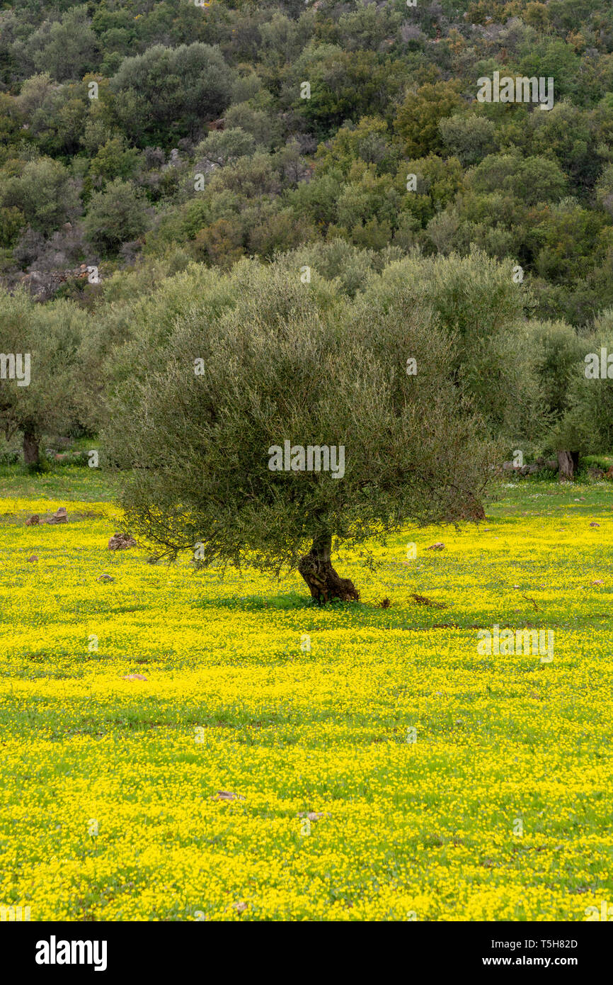 Countryside landscape with olive trees grove in spring season with colorful blossom of wild yellow flowers Stock Photo