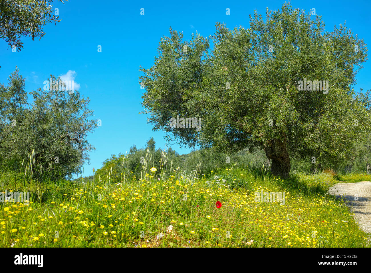 Countryside landscape with olive trees grove in spring season with colorful blossom of wild flowers Stock Photo