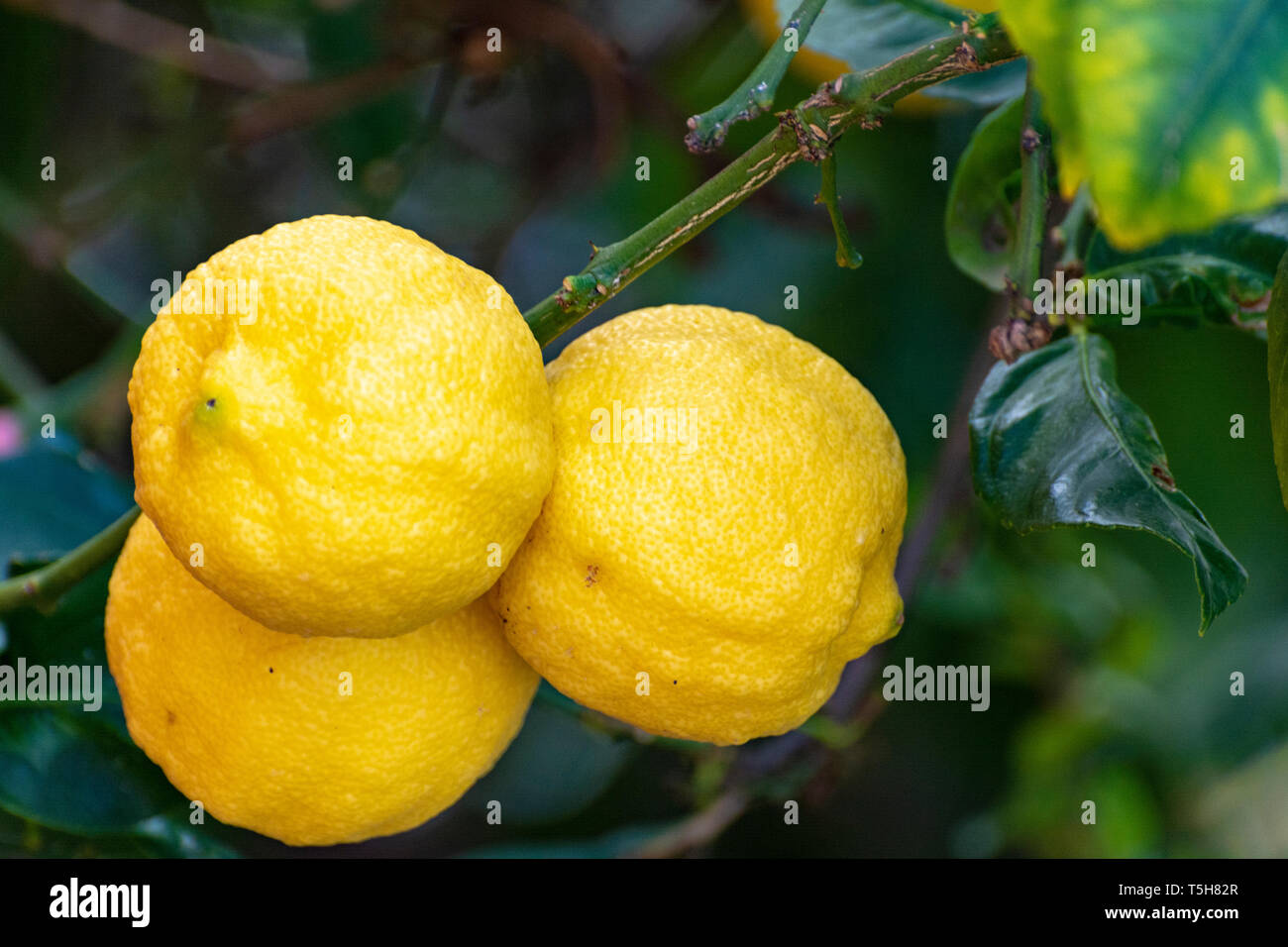 Ripe big yellow lemons, tropical citrus fruits hanging on tree ready to harvest close up Stock Photo