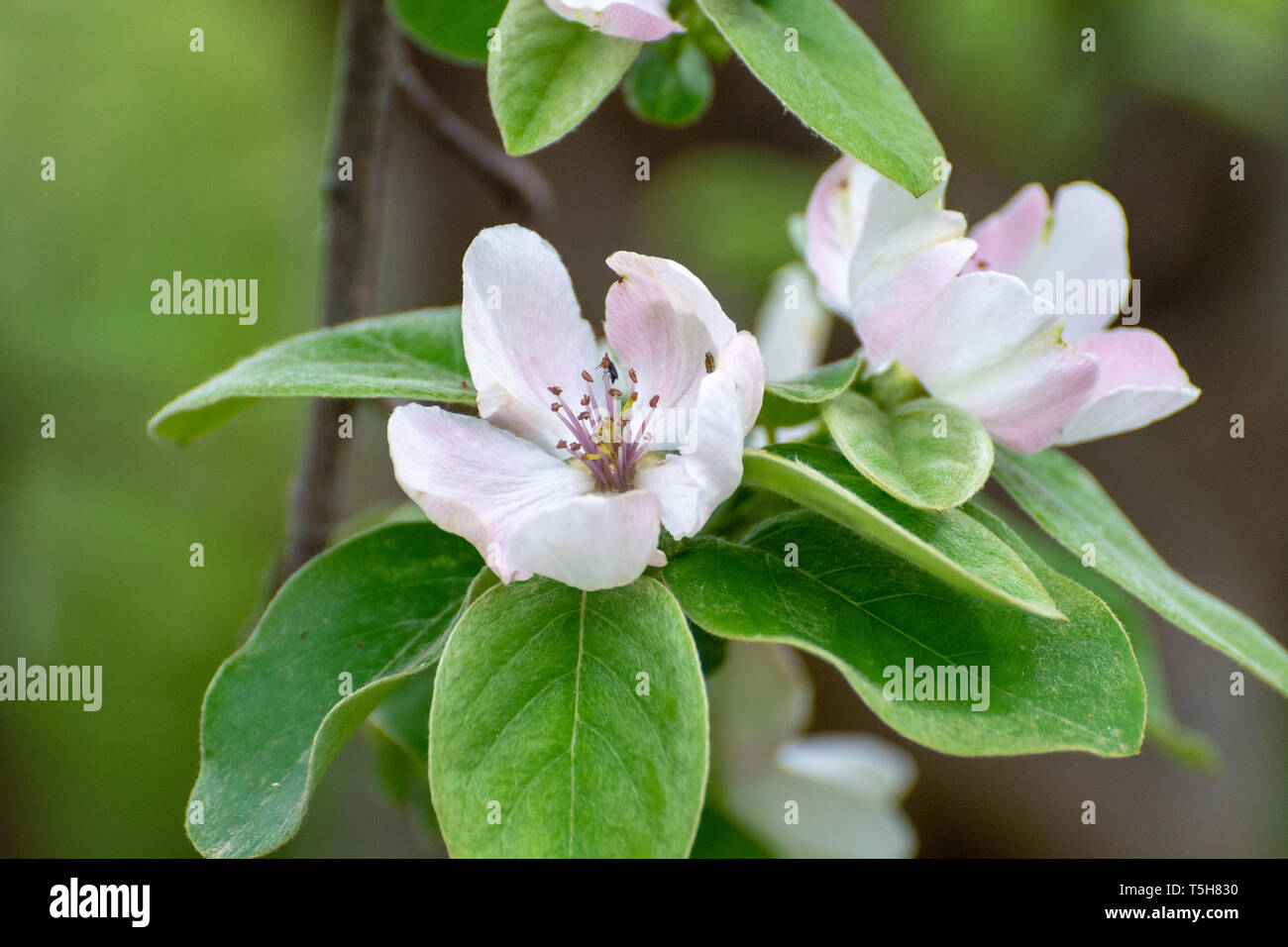 Pink flowers of apple tree, spring blossom on fruit orchard close up Stock Photo
