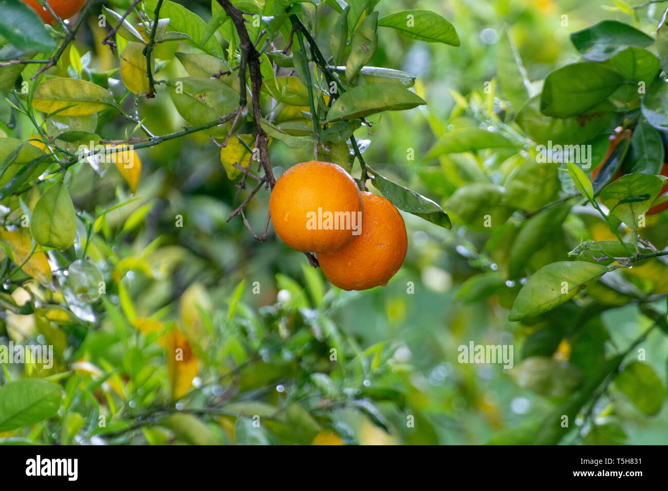 Orange citrus fruit plantations on Peloponnese, Greece, new harvest of sweet juicy oranges Stock Photo