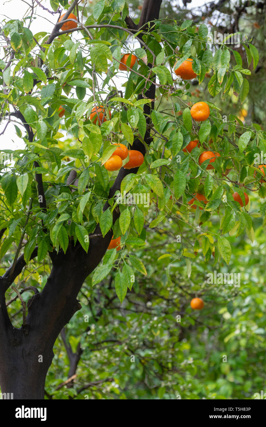 Ripe orange mandarine citrus fruit hanging on tree close up Stock Photo
