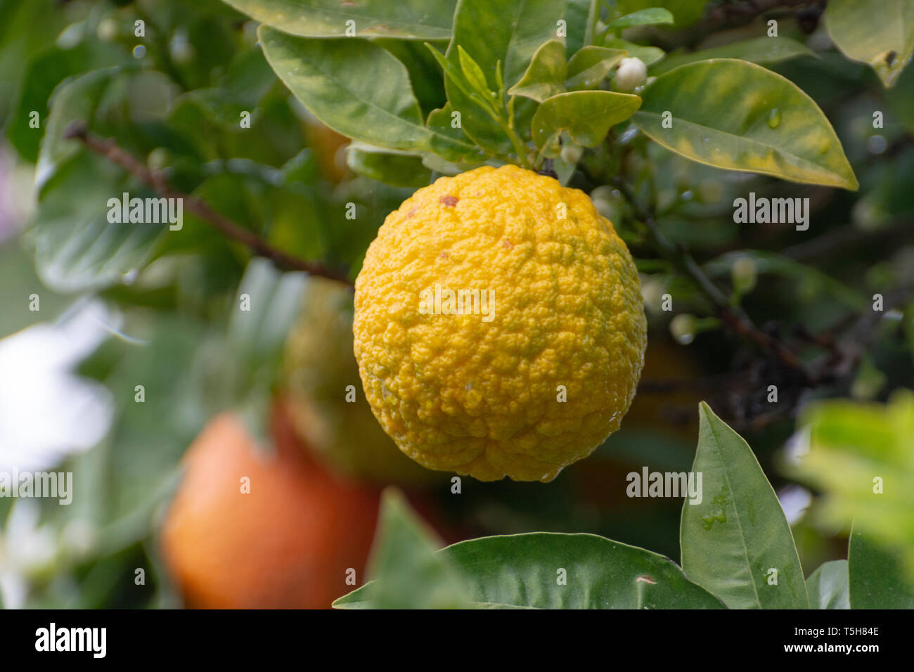 Citrus fruits of sour orange bergamot riping on blossoming thee close up Stock Photo