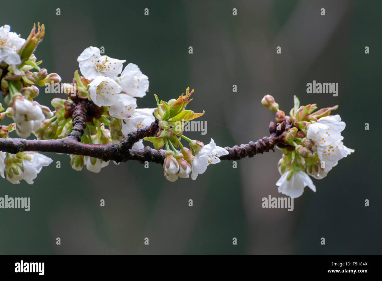 White blossom of sour cherry in garden in spring, floral background Stock Photo
