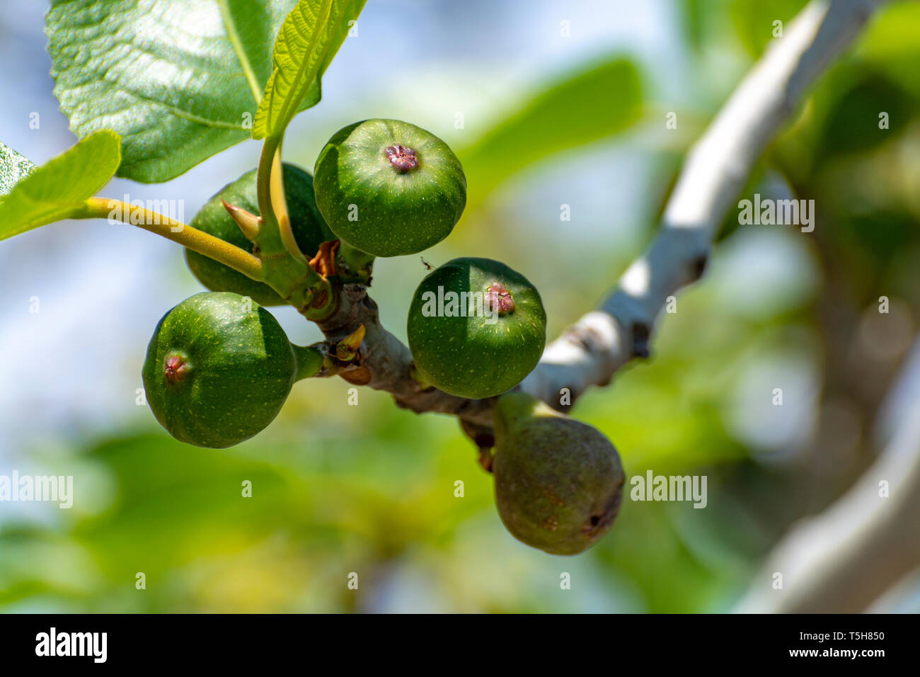 Unripe green figs fruits riping on fig tree close up Stock Photo