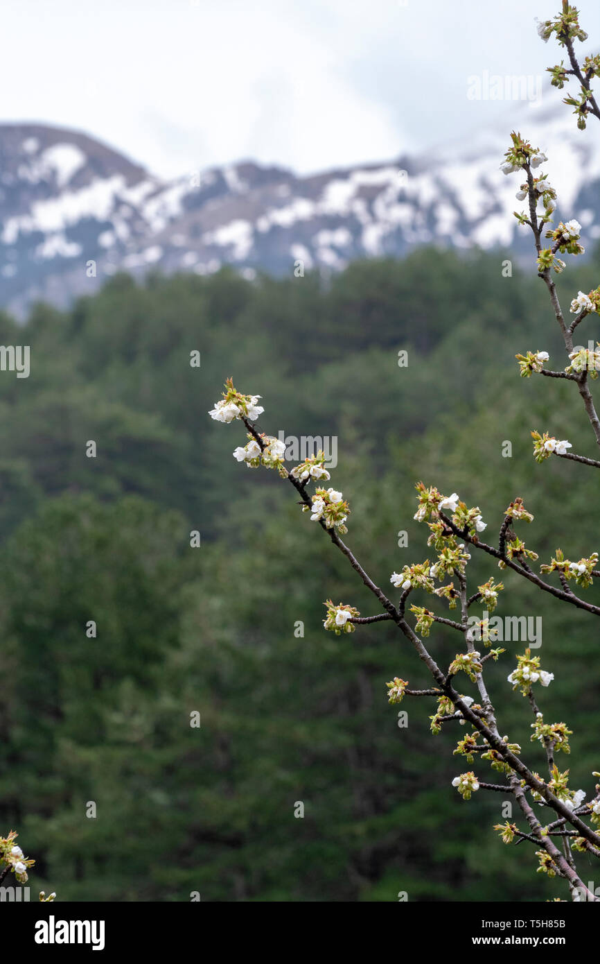 White blossom of sour cherry in greek mountains in spring, floral background Stock Photo