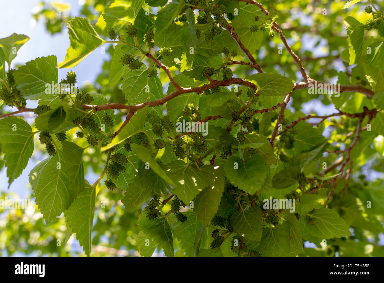 Young green unripe mulberry berries riping on tree in spring Stock Photo