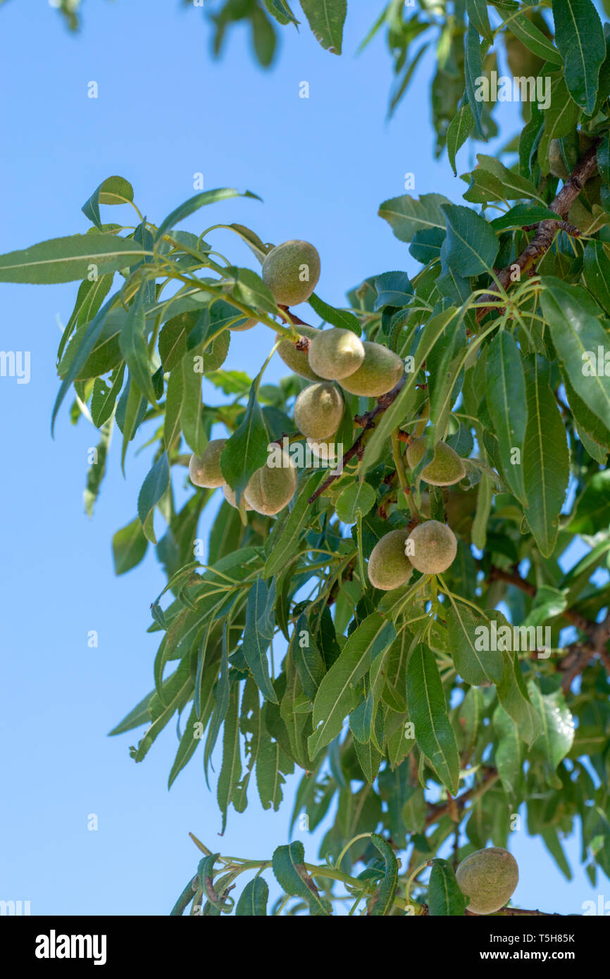 Young green almond nuts riping on almond tree close up Stock Photo